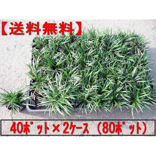 タマリュウ 玉竜 ポット 80ポット 40ポット×2ケース  翌日発送可 7.5cmポットガーデニング下草グランドカバー