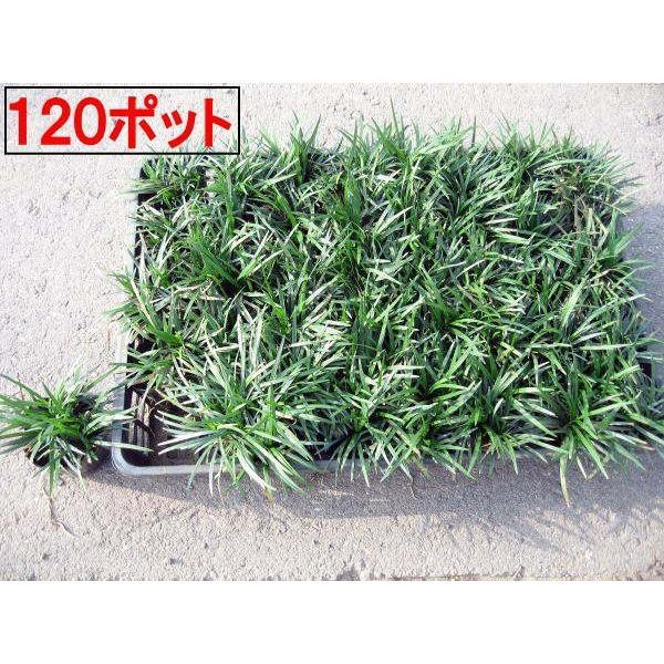 タマリュウ 玉竜 120ポット直径7.5cm 送料無料 翌日発送可 ガーデニング 下草 グランドカバー