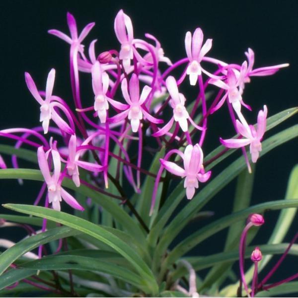 【富貴蘭】 朱天王(しゅてんのう)3-4条/ 花 蘭 古典植物 フウラン