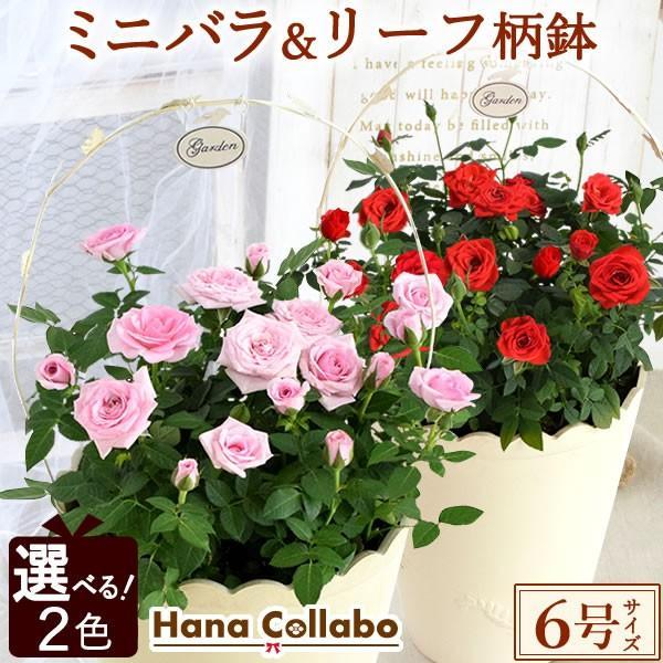 【選べる2色】鉢植え バラ 誕生日プレゼント 花 6号 薔薇 母 おばあちゃん 女性 お祝い ギフト 結婚祝い 出産祝い 内祝い 40代 50代 60代 70代