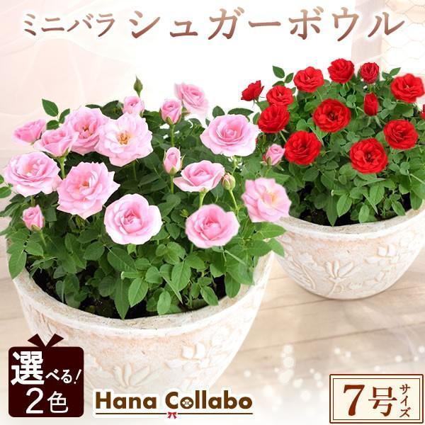 【選べる2色】鉢植え バラ 誕生日プレゼント 花 7号 薔薇 母 おばあちゃん 女性 お祝い ギフト 結婚祝い 出産祝い 内祝い 40代 50代 60代 70代