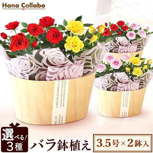 【選べる3色】鉢植え バラ 誕生日プレゼント 花 薔薇 3.5号 母 おばあちゃん 女性 お祝い ギフト 結婚祝い 内祝い 40代 50代 60代 70代