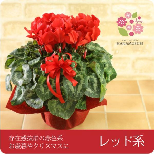 シクラメン(鉢花)6号鉢(レッド系・ピンク系・紫系・ワイン系) hana-kusamusubi 03