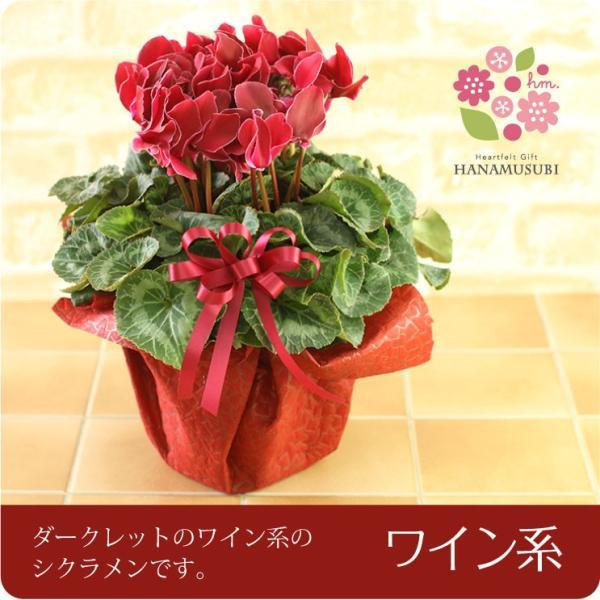 シクラメン(鉢花)6号鉢(レッド系・ピンク系・紫系・ワイン系) hana-kusamusubi 05