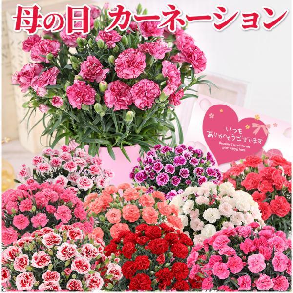 カーネーション鉢 母の日花ギフト
