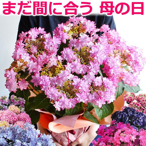 母の日プレゼントアジサイ6号鉢ギフトにあじさい紫陽花鉢植え贈り物ダンスパーティなど