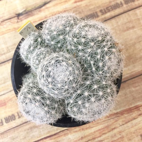 サボテン 満月 綴化 サボテン マミラリアルイ サボテン 多肉植物|hanabisou|03