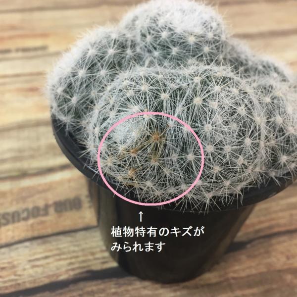 サボテン 満月 綴化 サボテン マミラリアルイ サボテン 多肉植物|hanabisou|04