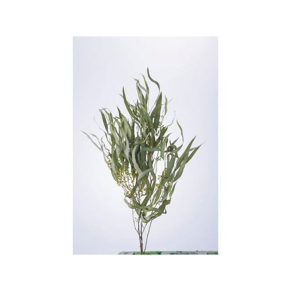 即日 ドライ 小分け 大地農園 ユーカリ エキゾチカ葉付 N 約12g 40175-000 ドライ葉物 葉物