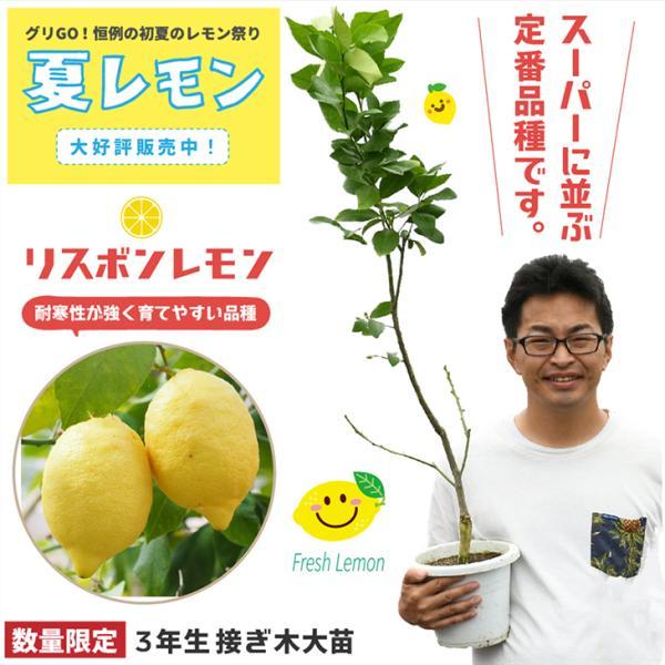 レモン 苗木 【リスボンレモン】 3年生 接ぎ木 プラスチック鉢植え