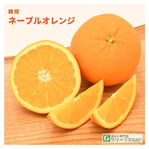 オレンジ 苗木 【ネーブル オレンジ】 2年生 接ぎ木大苗
