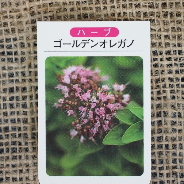 ハーブ 苗 【オレガノ ゴールデン】 3号ポット苗