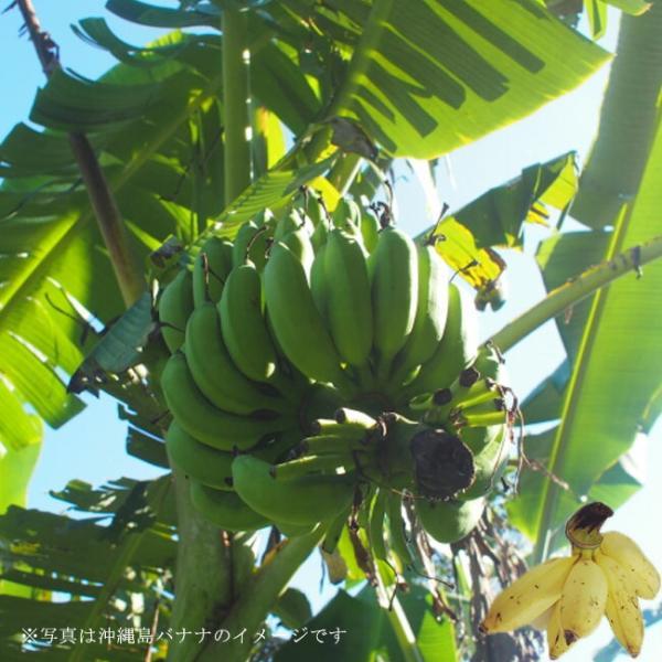 バナナの木 沖縄島バナナ ポット苗 沖縄県産熱帯果樹