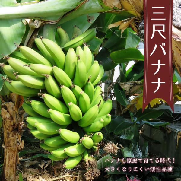 バナナの木 三尺バナナ ポット苗 沖縄県産熱帯果樹