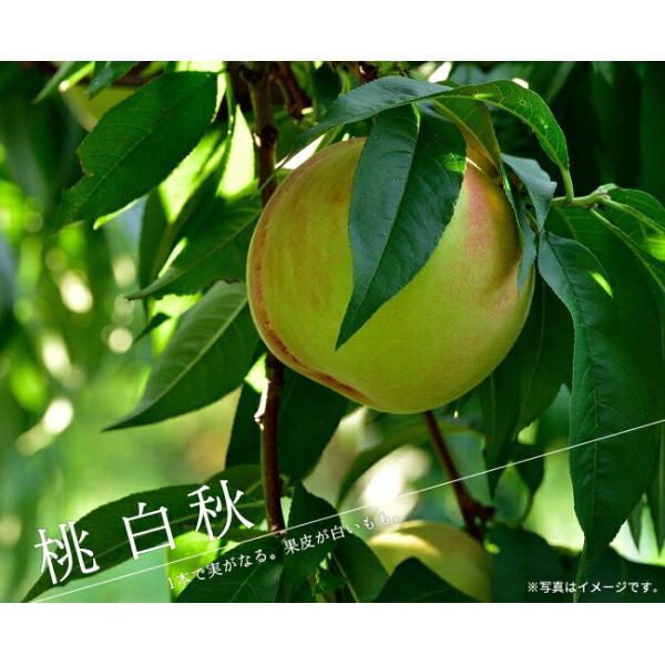 白秋 桃 (もも) 1年生接木 苗木 予約販売11月頃入荷・発送予定