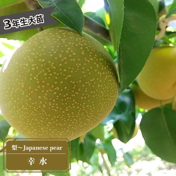 幸水 梨(なし) 3年生 接ぎ木 1m大苗 産地で剪定済 1.0m苗 予約販売9〜10月頃入荷予定