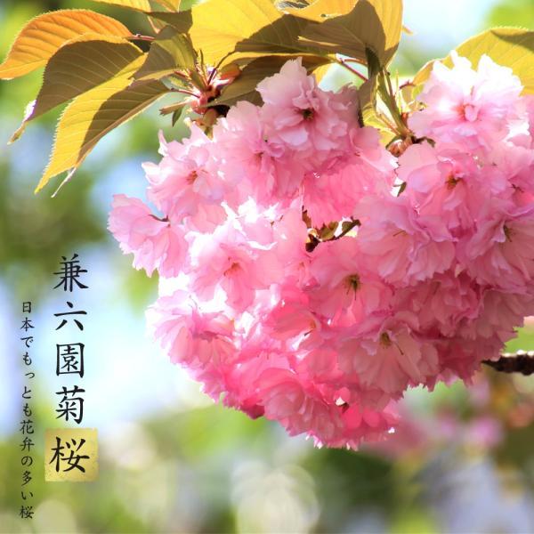 兼六園菊桜 さくら 1年生 接木苗 予約販売11月頃入荷・発送予定