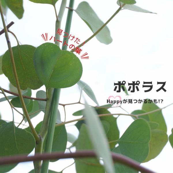 ユーカリの木 ポポラス ポリアンセモス 3号ポット苗