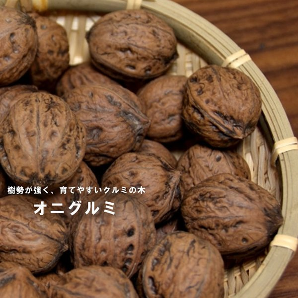 くるみの木 鬼胡桃 (オニグルミ) 2年生実生苗 スリット 鉢植え  予約販売9〜10月頃入荷予定
