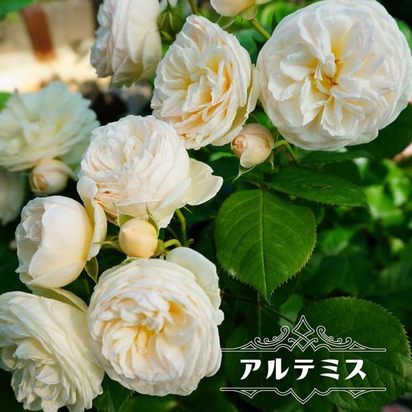 四季咲き半つるバラ アルテミス 2年生大苗 予約販売12〜翌1月頃入荷予定