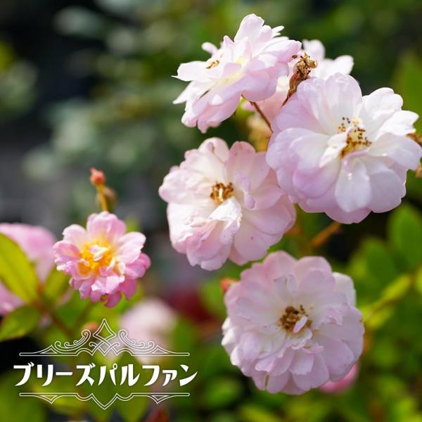 四季咲き つるバラ ブリーズパルファン 2年生大苗 予約販売12〜翌1月頃入荷予定