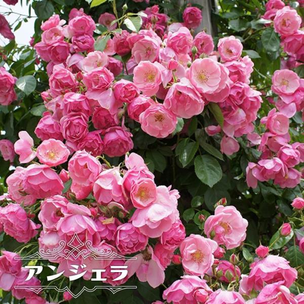 バラ苗 アンジェラ 長尺苗 つるバラ 四季咲き ピンク 強健 バラ 苗 つるばら フェンス 大型宅配便 沖縄・離島不可