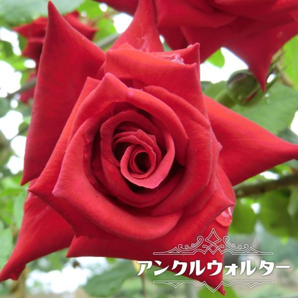 バラ苗 アンクルウォルター 大苗 つるバラ 四季咲き 赤色 強健 バラ 苗 つるばら 予約販売12〜翌1月頃入荷予定