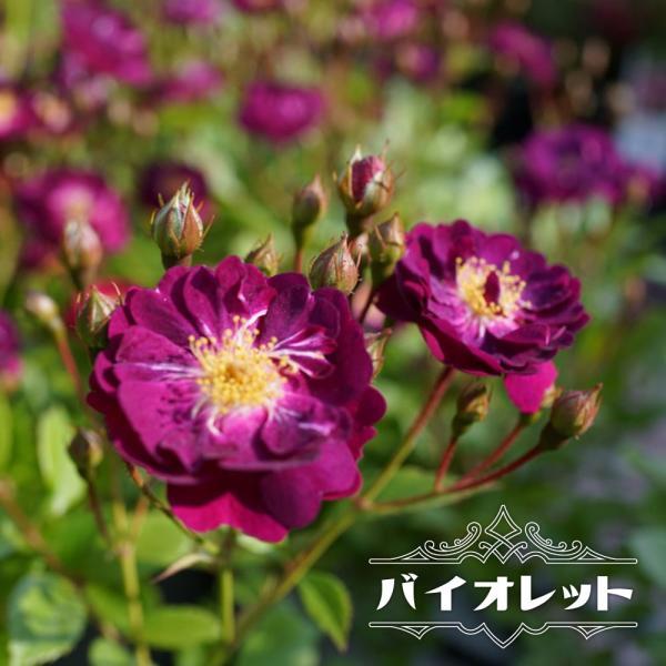 バラ苗 バイオレット 大苗 つるバラ 強健 紫色 バラ苗木 予約販売12〜翌1月頃入荷予定