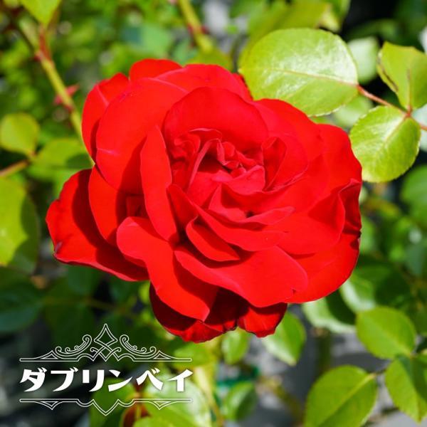 四季咲き つるバラ ダブリンベイ 2年生大苗 予約販売12〜翌1月頃入荷予定