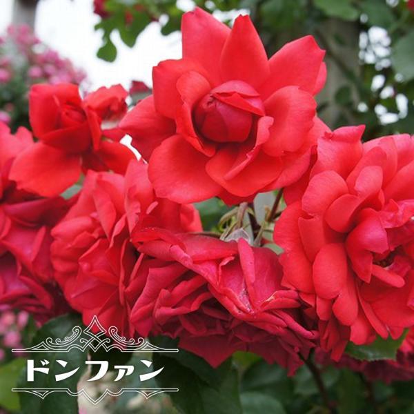 バラ苗 ドンファン 長尺苗 つるバラ トゲが少ない 四季咲き 赤色 強健 バラ つるばら 大型宅配便 沖縄・離島不可 予約販売9〜10月頃入荷予定