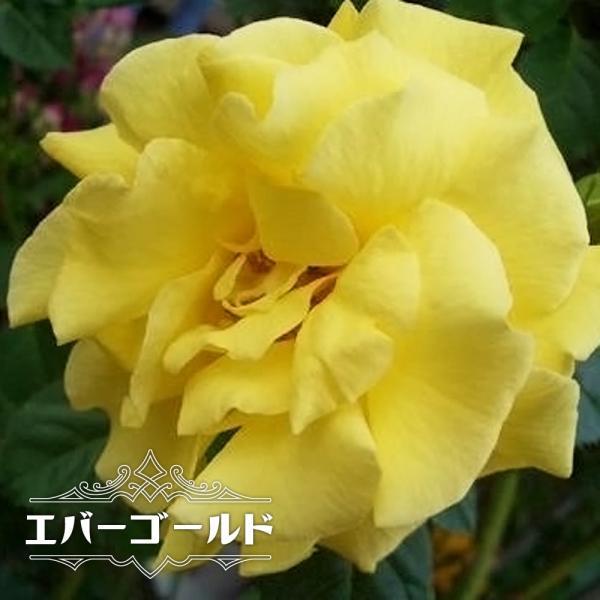バラ苗 エバーゴールド 大苗 つるバラ 黄色 トゲが少ない バラ苗木 予約販売12〜翌1月頃入荷予定
