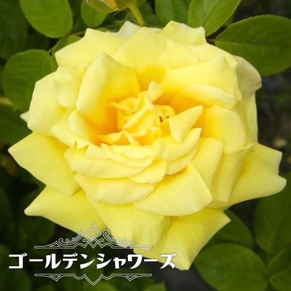 バラ苗 ゴールデンシャワーズ 大苗 つるバラ トゲが少ない 四季咲き 黄色 バラ 苗 つるばら ローズヒップ 予約販売12〜翌1月頃入荷予定