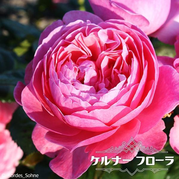 バラ苗 ケルナー フローラ 大苗  つるバラ 四季咲き トゲが少ない 予約販売12〜翌1月頃入荷予定