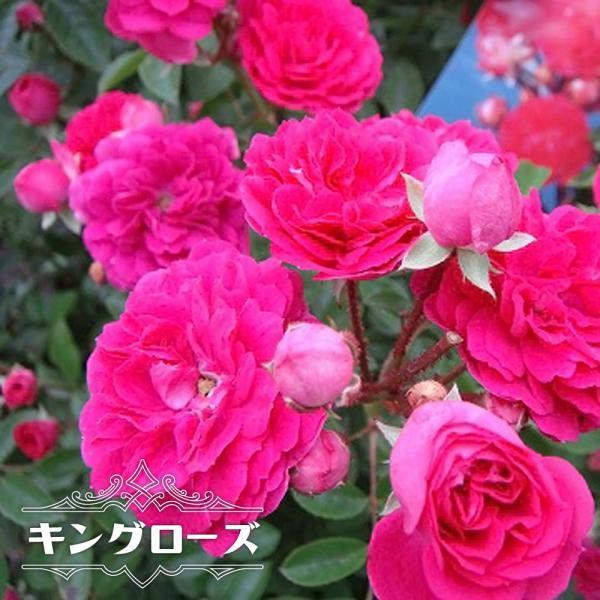 バラ苗 キングローズ 大苗 つるバラ トゲが少ない ピンク バラ 苗 つるばら 予約販売12〜翌1月頃入荷予定