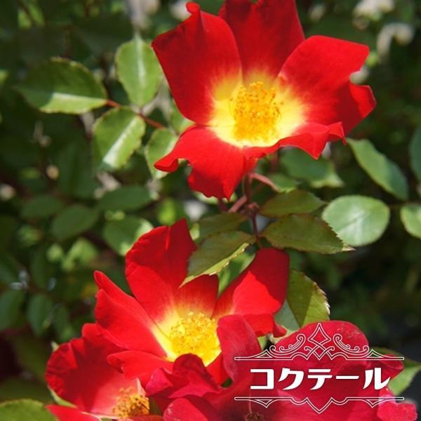 バラ苗 コクテール (カクテル) 長尺苗 つるバラ トゲが少ない 四季咲き 赤色 バラ 大型宅配便 沖縄・離島不可 予約販売9〜10月頃入荷予定