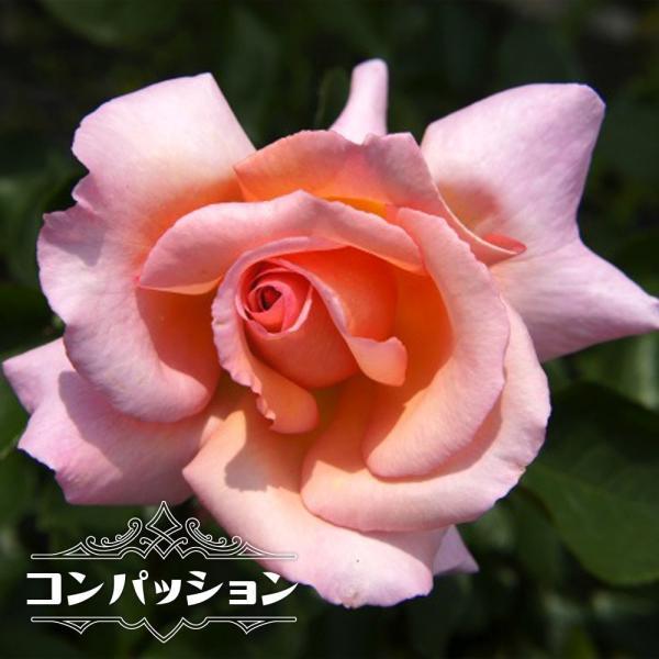 バラ苗 コンパッション 大苗 つるバラ 四季咲き ピンク 強香 強健 バラ 苗 つるばら 予約販売12〜翌1月頃入荷予定