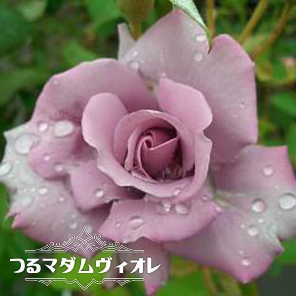 バラ苗 つるマダムヴィオレ 大苗 つるバラ トゲが少ない 紫色 バラ 苗 つるばら 予約販売12〜翌1月頃入荷予定