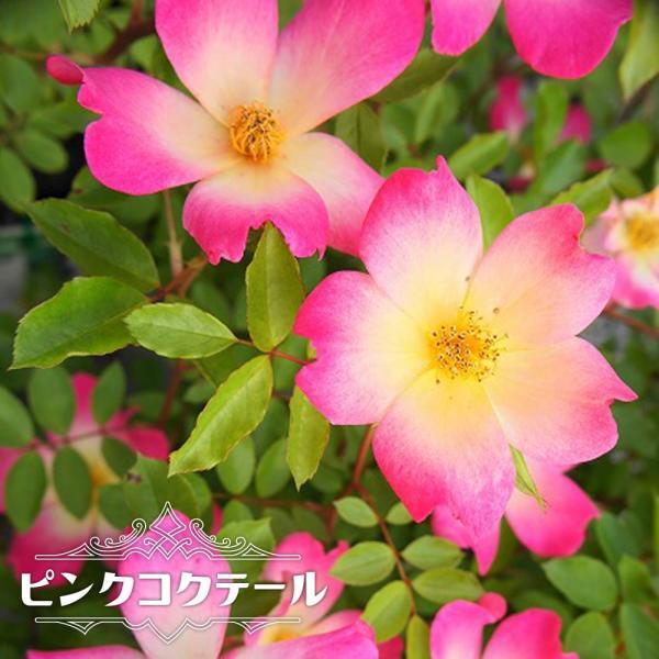 バラ苗 ピンクコクテール 大苗 つるバラ トゲが少ない 四季咲き ピンク バラ 苗 つるばら 予約販売12〜翌1月頃入荷予定