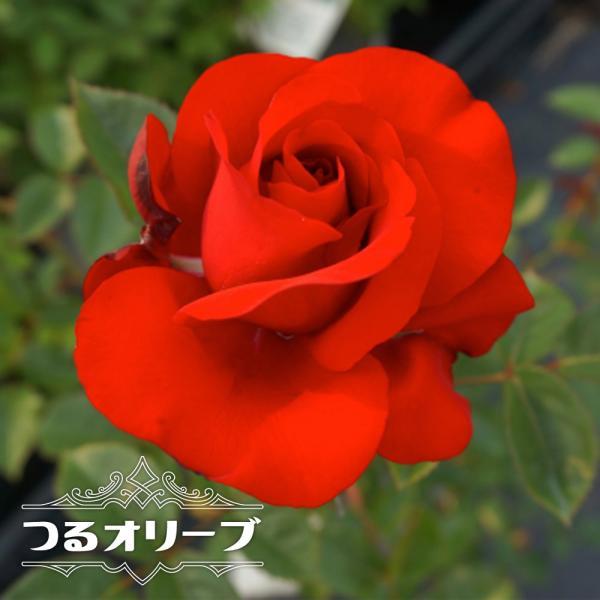 バラ苗 つるオリーブ 大苗 つるバラ 赤色 四季咲き バラ 苗 バラ苗木 予約販売12〜翌1月頃入荷予定