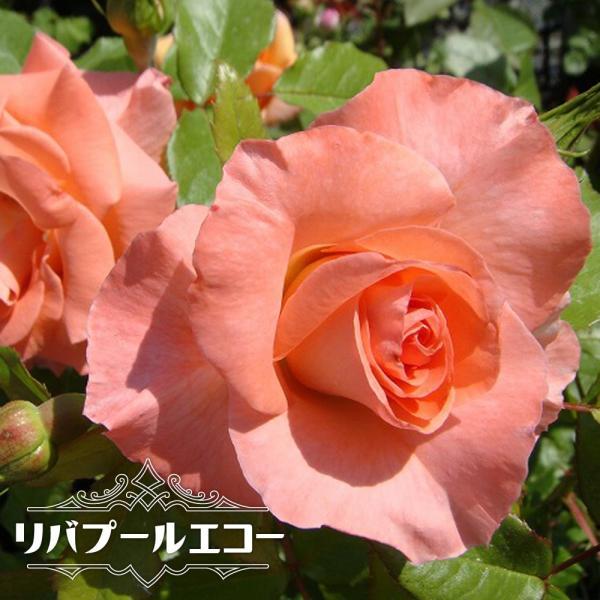バラ苗 リバプールエコー 大苗 つるバラ トゲが少ない 四季咲き サーモンピンク 強健 バラ 苗 つるばら 予約販売12〜翌1月頃入荷予定