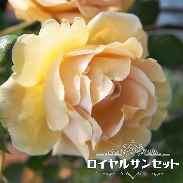 バラ苗 ロイヤルサンセット 大苗 つるバラ 四季咲き オレンジ色 強香 バラ 苗 つるばら 予約販売12〜翌1月頃入荷予定