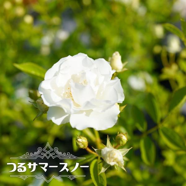 バラ苗 つるサマースノー 大苗 つるバラ トゲが少ないから安心♪ 白色 強健 バラ 苗 つるばら 予約販売12〜翌1月頃入荷予定
