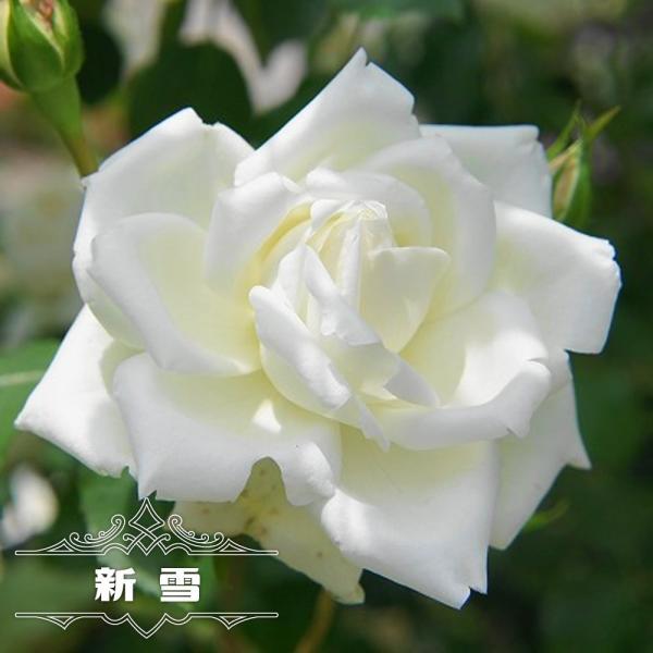 四季咲きつるバラ 新雪 2年生大苗 予約販売12〜翌1月頃入荷予定