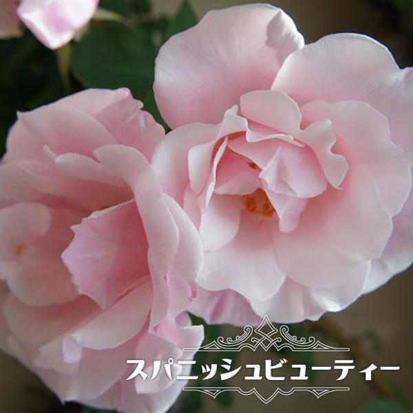 バラ苗 スパニッシュビューティー つるバラ トゲが少ない ローズヒップ ピンク 強香 強健 バラ 苗 つるばら 予約販売12〜翌1月頃入荷予定