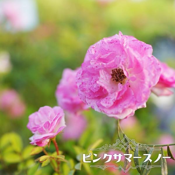バラ苗 ピンクサマースノー (春かすみ) 大苗 つるバラ トゲが少ない 強健 ピンク バラ苗木 予約販売12〜翌1月頃入荷予定