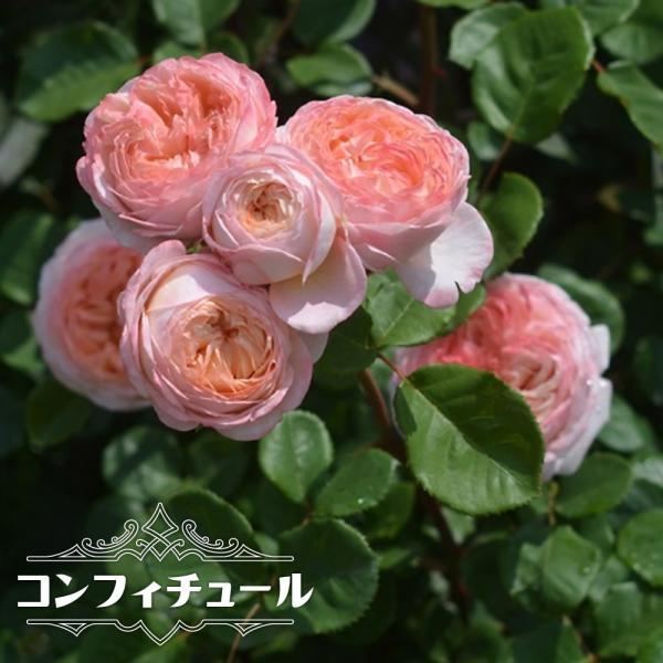 四季咲き半つるバラ コンフィチュール 2年生大苗 予約販売12〜翌1月頃入荷予定