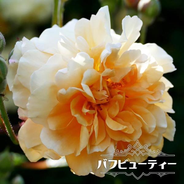 バラ苗 バフビューティー 大苗 オールドローズ 四季咲き オレンジ色 強香 強健 予約販売12〜翌1月頃入荷予定