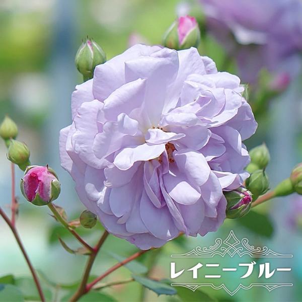 四季咲き半つるバラ レイニーブルー 2年生大苗 6号ポット 予約販売12〜翌1月頃入荷予定