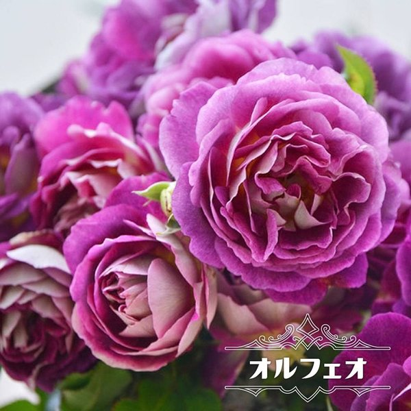 四季咲き半つるバラ オルフェオ 2年生大苗 予約販売12〜翌1月頃入荷予定