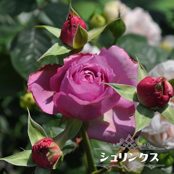 四季咲き半つるバラ苗 シュリンクス 2年生大苗 予約販売12〜翌1月頃入荷予定
